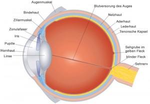 Aufbau des Auge